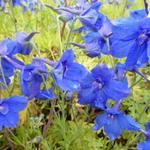 Delphinium grandiflorum 'Blauer Zwerg' - Ridderspoor - Delphinium grandiflorum 'Blauer Zwerg'