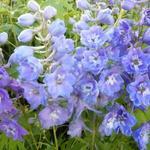 Delphinium 'Camelliard' - Ridderspoor - Delphinium 'Camelliard'