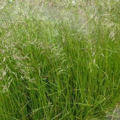 Smele - Deschampsia cespitosa