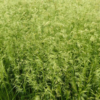 Deschampsia cespitosa  'Goldschleier' - Gewone smele - Deschampsia cespitosa  'Goldschleier'