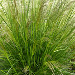 Deschampsia cespitosa 'Pixie Fountain' - Smele