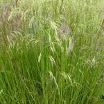 Deschampsia cespitosa 'Waldschratt' - Smele - Deschampsia cespitosa 'Waldschratt'