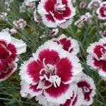 Dianthus x allwoodii 'Alice' - Grasanjer - Dianthus x allwoodii 'Alice'
