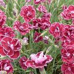 Dianthus x allwoodii 'Romeo' - Grasanjer - Dianthus x allwoodii 'Romeo'