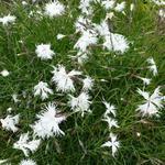 Dianthus arenarius - Zandanjer - Dianthus arenarius