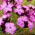 Karthuizeranjer - Dianthus carthusianorum