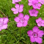 Dianthus deltoides 'Rosea' - Steenanjer/Zwolse anjer - Dianthus deltoides 'Rosea'