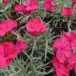 Dianthus gratianopolitanus 'Badenia' - Dianthus gratianopolitanus 'Badenia' - Rotsanjer