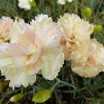 Dianthus plumarius 'Devon Cream' - Grasanjer - Dianthus plumarius 'Devon Cream'