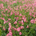 Diascia fetcaniensis - Elfenspoor