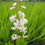 Dictamnus albus 'Albiflorus' - Vuurwerkplant - Dictamnus albus 'Albiflorus'