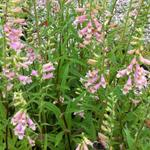 Vingerhoedskruid - Digitalis 'Glory of Roundway'
