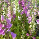 Digitalis Purpurea 'Excelsior Hybrids' - Vingerhoedskruid - Digitalis Purpurea 'Excelsior Hybrids'