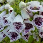 Digitalis purpurea 'Pam's Choice - Vingerhoedskruid
