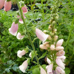 Digitalis purpurea 'Sutton's Apricot' - Vingerhoedskruid - Digitalis purpurea 'Sutton's Apricot'