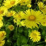Doronicum orientale 'Little Leo' - Voorjaarszonnebloem/Gele margriet - Doronicum orientale 'Little Leo'