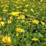 Doronicum orientale 'Magnificum' - Doronicum orientale 'Magnificum' - Voorjaarszonnebloem/Gele margriet