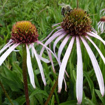 Echinacea pallida 'Hula Dancer' -