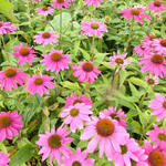 Echinacea purpurea 'POW WOW Wild Berry' - Rode zonnehoed - Echinacea purpurea 'POW WOW Wild Berry'