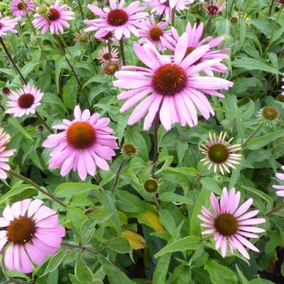 Echinacea purpurea -
