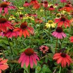 Echinacea purpurea 'Cheyenne Spirit' - Rode zonnehoed - Echinacea purpurea 'Cheyenne Spirit'