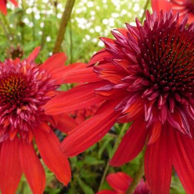 Echinacea purpurea 'Eccentric' -