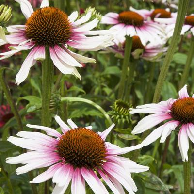 Echinacea purpurea 'Funky White' -
