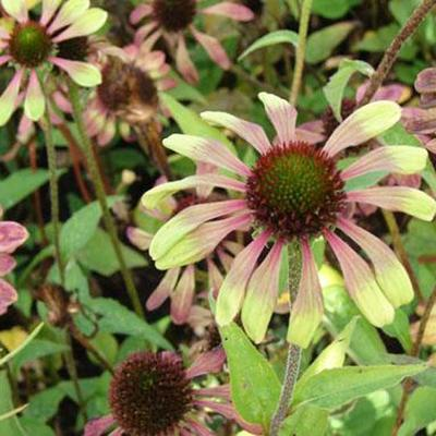 Echinacea purpurea 'Green Envy' -