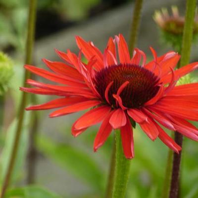 Echinacea purpurea 'Hot Lava' -