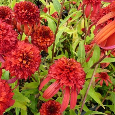 Echinacea purpurea 'Hot Papaya' -
