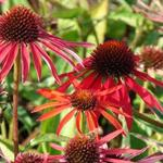 Echinacea purpurea 'Hot Summer' - Rode zonnehoed