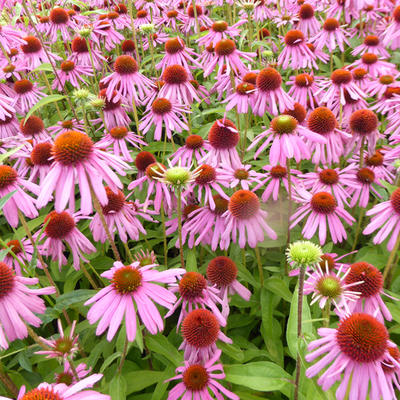 Echinacea purpurea 'Kim's Knee High' -