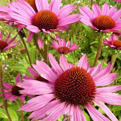 Echinacea purpurea 'Little Magnus' -