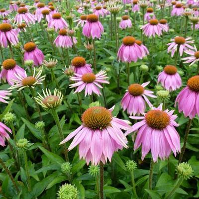 Echinacea purpurea 'Mistral' -