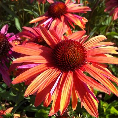 Echinacea purpurea 'Orange Passion' -