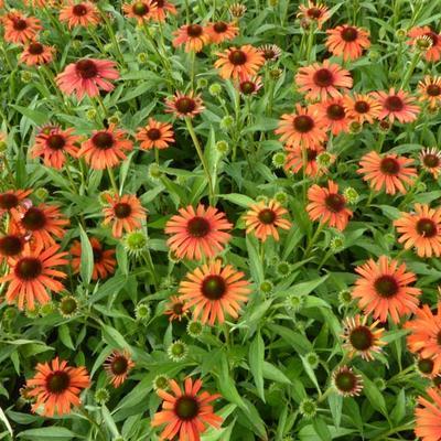 Echinacea purpurea 'Orange Skipper' -