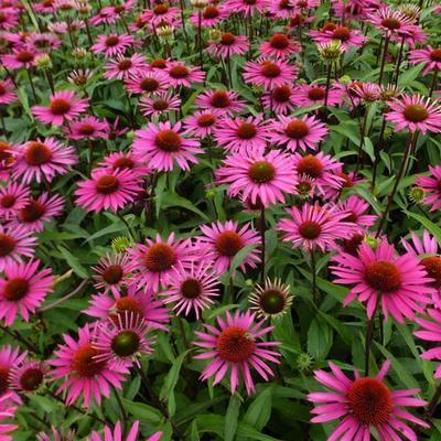 Echinacea purpurea 'Pica Bella' -