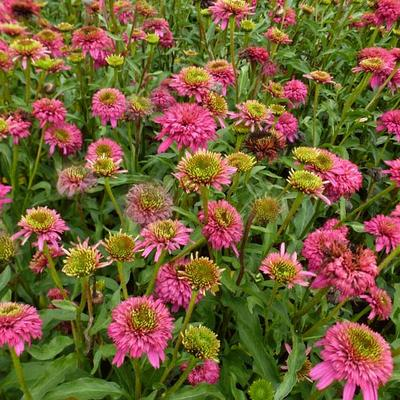 Echinacea 'Piccolino' - Rode zonnehoed