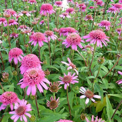 Echinacea purpurea 'Pink Double Delight' -