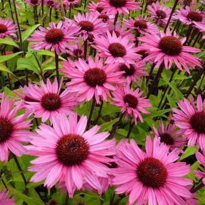 Echinacea purpurea 'Profusion' -