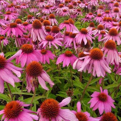 Echinacea purpurea 'Red Knee High' -