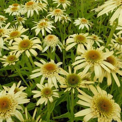 Echinacea purpurea 'SECRET Joy' -