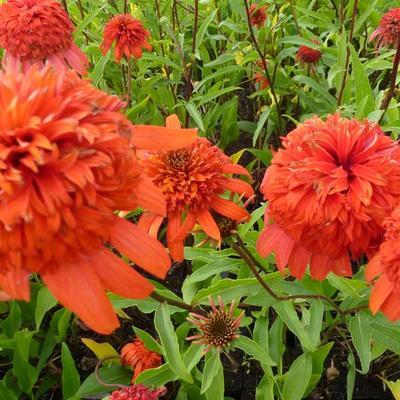 Echinacea purpurea 'SECRET Lust' -