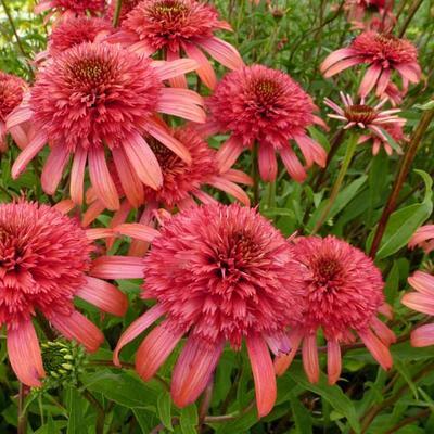 Echinacea purpurea 'SECRET Passion' -