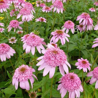 Echinacea purpurea 'SECRET Romance' -
