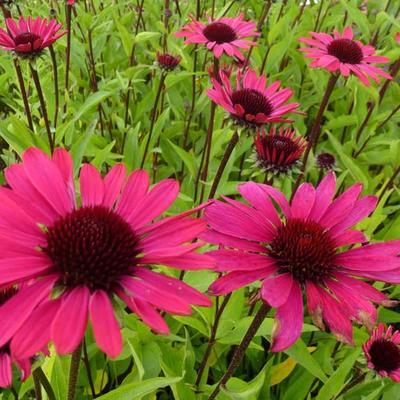 Echinacea purpurea 'Summer Cloud' -