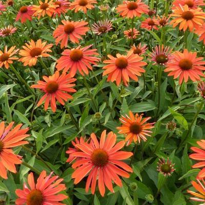 Echinacea purpurea 'Summer Fire' -