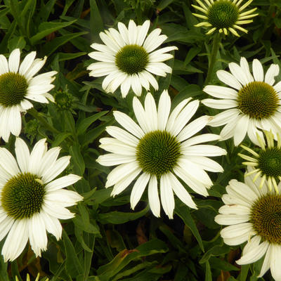 Echinacea SUNSEEKERS 'White' - Rode zonnehoed