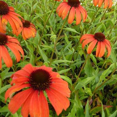 Echinacea purpurea 'Tangerine Dream' -