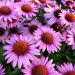 Echinacea purpurea 'The King' - Rode zonnehoed